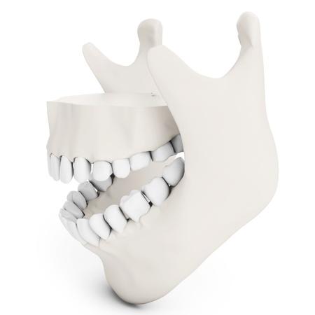 human jaw bone: 3d human jaw bone opened  with teeth on white background