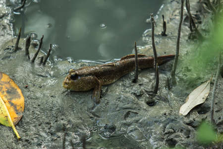 the lovely mudskipper and beautiful mangrove forest Stock Photo