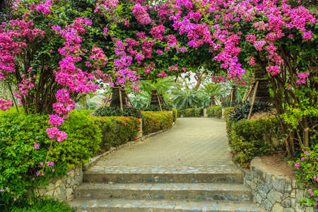 the beautiful arbour of Bougainvillea in the garden Stock Photo