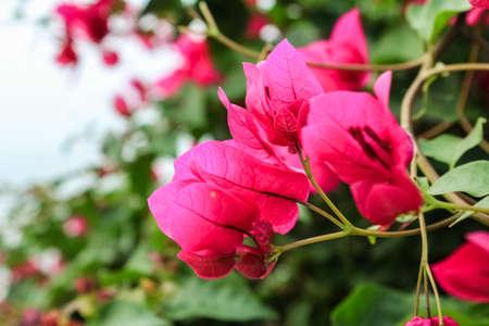 the beautiful bougainvillea in the fresh garden