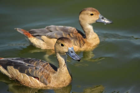animalia: two ducks swim funny in the pool Stock Photo