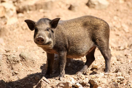 wild boar: the baby wild boar stand in nature Stock Photo