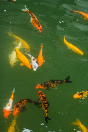crowd tail: the group of fancy carp swim in pond of park Stock Photo