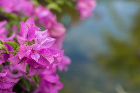 magenta: the magenta bougainvillea in the fresh nature