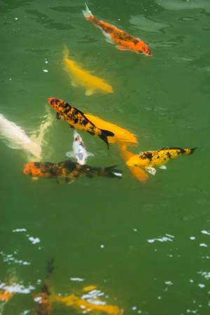 crowd tail: the group of fancy carp swim in pool of park Stock Photo
