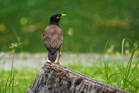 common myna bird: Common myna on the stubble in the park
