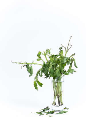 lamiales: the withered ocimum sanctum in the glass Stock Photo