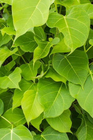 pipal: branches and leaves of the bothi tree
