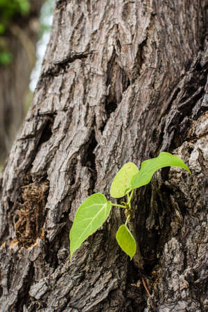 pipal: the beautiful branch of the pipal tree