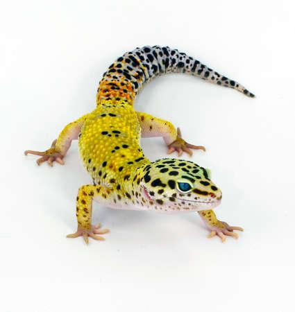 lagartija: amarillo Eublepharis macularius Eublepharis