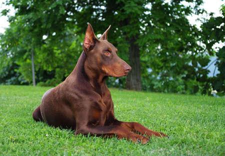 brown dobermann: DOG Brown dobermann in the garden