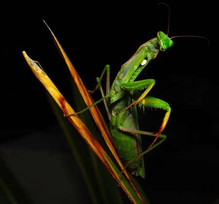 gottesanbeterin: Green mantis Mantis religiosa Linnaeus Mantide religiosa