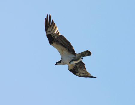osprey: Osprey and big fish