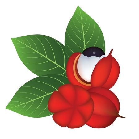 Guarana Fruits and Leaves Vector