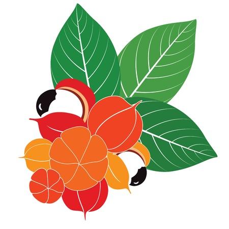 구아라나 과일과 잎의 그룹
