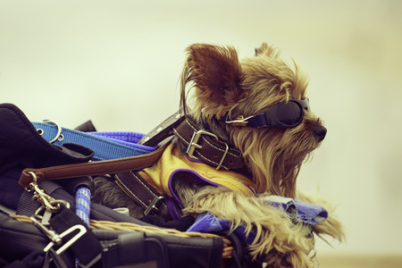 Portrait of an Yorkshire Terrier dressed up