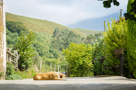 Brown dog lying in the middle of village road photo