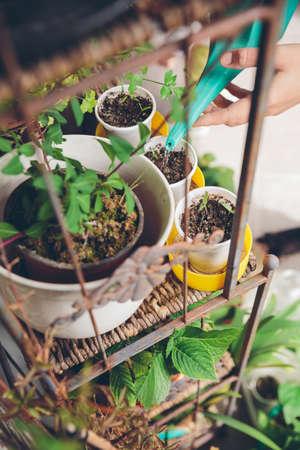 community garden: Closeup of woman hands watering young seedlings in a urban garden inside of home terrace