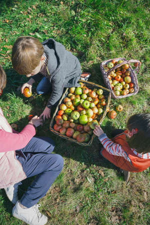 autumn garden: Top view of happy children and senior woman putting fresh organic apples inside of wicker baskets with fruit harvest. Family leisure time concept.