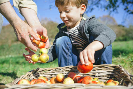 child boy: Closeup of happy cute kid and senior man hands putting fresh organic apples in wicker basket with fruit harvest. Focus on man hands. Stock Photo