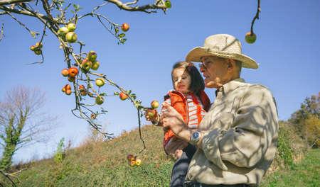 abuelos: Hombre mayor con el sombrero y adorable niña recogiendo manzanas orgánicas frescas del árbol en un día soleado de otoño. Los abuelos y nietos concepto de tiempo libre.