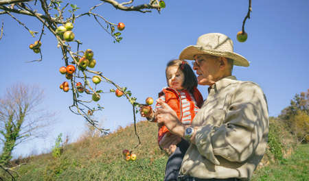 leisure time: Senior man with hat and adorable little girl picking fresh organic apples from the tree in a sunny autumn day. Grandparents and grandchildren leisure time concept.