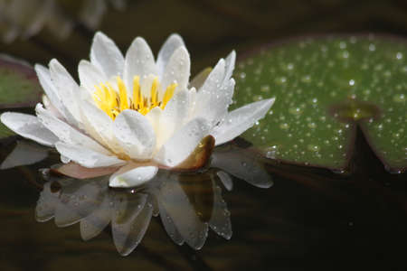 Water lily after the rain Stock Photo