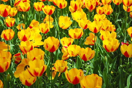 creates: Floral background with tulips Stock Photo