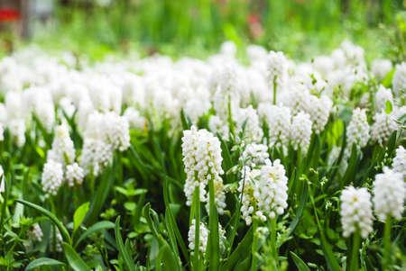 Beautiful white muscari in field photo