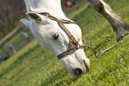 The beautiful white horse is grazed on a green meadow photo