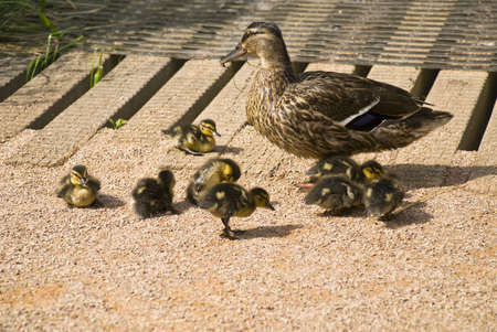 Adult duck with small ducklings photo
