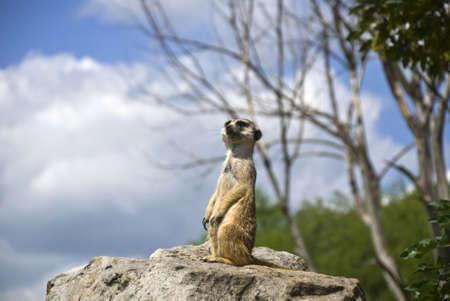 observes: The meerkat stands on a stone and observes the territory