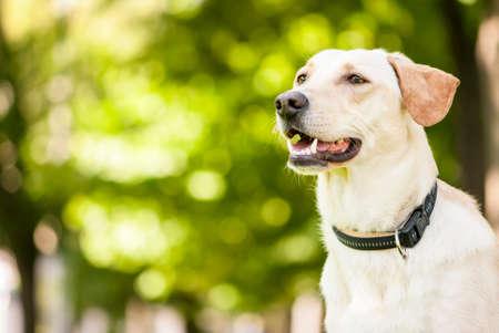 Outdoor portrait of cute golden labrador crossbreed with black collar