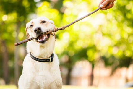 yard stick: Outdoor portrait of cute golden labrador crossbreed with a stick  Stock Photo