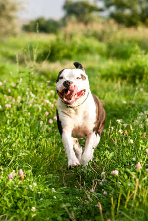 amstaff: Portrait of running American Staffordshire Terrier  Stock Photo