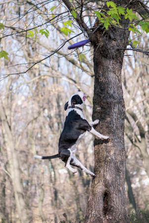 amstaff: American Staffordshire Terrier jump to catch a toy