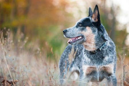 Belleza del otoño retrato de perro australiano del ganado