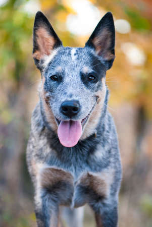 Close uo portrait of beuty and funky Australian cattle dog Stock Photo