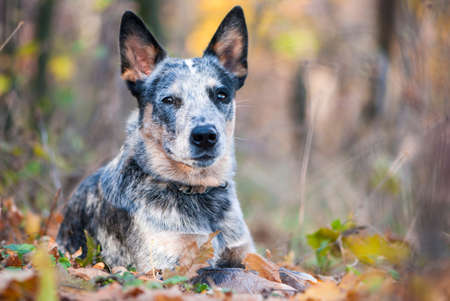 Beauty Australian cattle dog lying amongst autumn leaves 免版税图像