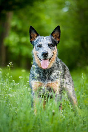 heeler: Summer beauty portrait of Australian cattle dog
