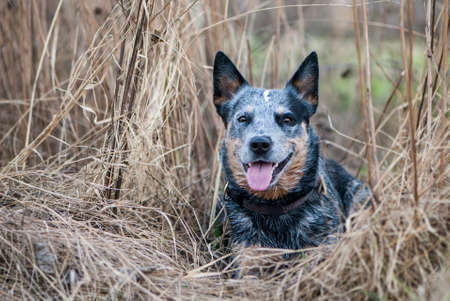 Portrait of lying Australian Cattle Dog among the hay.  Banque d'images