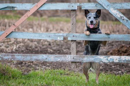 Portret die van Australische veehond zich dichtbij een landelijke omheining voor landbouwbedrijfvee bevinden