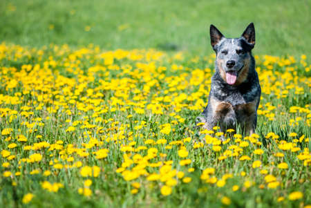 Summer portrait of happy Australian Cattle Dog on dandelions meadow. Purebred dog posing sitting among the flowers.