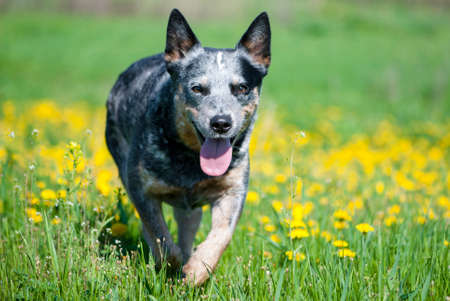 Happy Australian cattle dog running through a meadow with dandelions. Purebred blue heeler playing outdoors on a sunny summer day.  Stock Photo