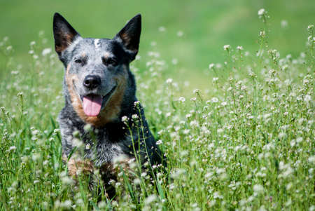 Portrait of Australian Cattle Dog among white small flowers. Happy purebred dog sitting on a beautiful meadow.