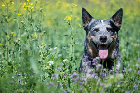 Spring portrait of happy Australian Cattle Dog on green grass.  Purebred dog posing sitting in a rapeseed field.