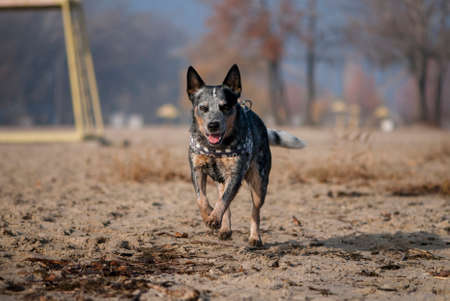 Australian Cattle Dog runs along the coast. Summer portrait of purebred dog running along the sandy river beach.