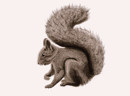 sketch out: squirrel Stock Photo