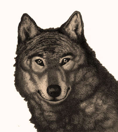 Wolf Illustration for postcards books, shirts, sweatshirts and other apparel, tattoos Stock Photo