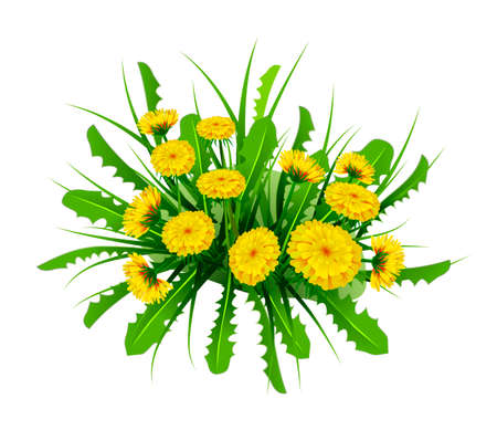 Springtime theme with spring flowers, Dandelions in white background. Illustration